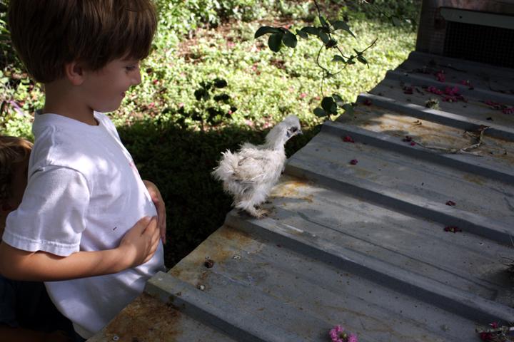 Chickens3