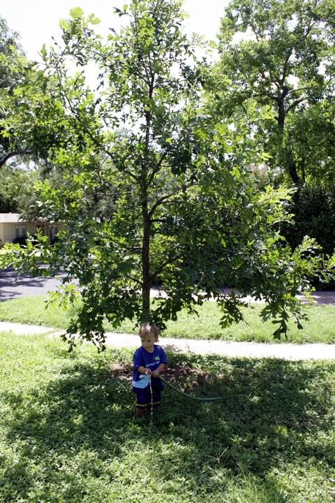 Oak tree1
